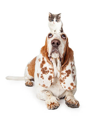 Basset Hounds Photograph - Guilty Looking Basset Hound Dog Laying   by Susan Schmitz