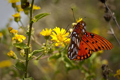 Gulf Fritillary Agraulis Vanillae Red Butterfly Print by Dustin K Ryan
