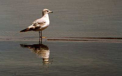 Pictur Photograph - Gull by Bob Whitt