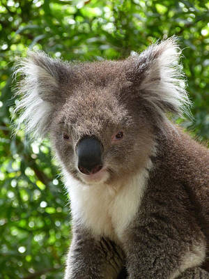 Photograph - Handsome Male Victorian Koala by Margaret Saheed