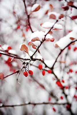Photograph - Hackberries In Snow by Bernice Williams
