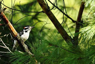 Picoides Villosus Photograph - Hairy Woodpecker by Debbie Oppermann