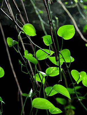 Plants Photograph - Hanging Vines by Joe Kozlowski