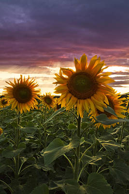 Happiness Is A Field Of Sunflowers Print by Debra and Dave Vanderlaan