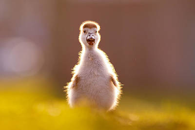 Cute Bird Photograph - Happy Easter - Cute Baby Gosling by Roeselien Raimond
