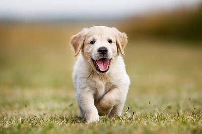 Happy Golden Retriever Puppy Print by Mikkel Bigandt