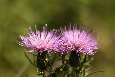 Photograph - Harbiners Of Autumn - Thistle Flowers by Mother Nature