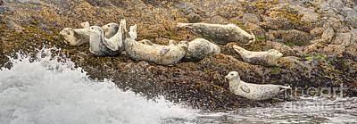 Oregon Photograph - Harbor Seals Panorama by Marv Vandehey