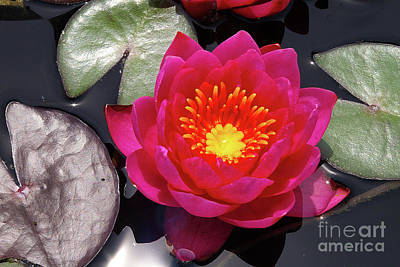 Photograph - Hardy  Day Water Lily by Rich Walter