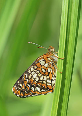 Checkerspot Photograph - Harris' Checkerspot by Jim Zablotny