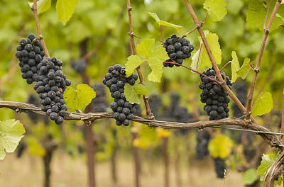Pinot Photograph - Harvest by Jean Noren