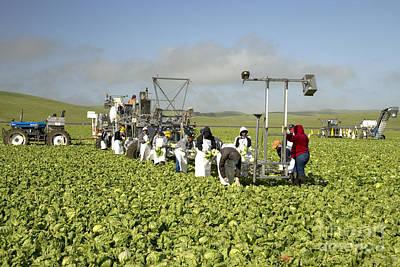 Lettuce Photograph - Harvesting Organic Iceberg Lettuce by Inga Spence