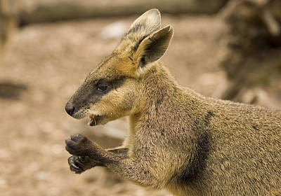 Marsupial Photograph - Having A Snack by Mike  Dawson