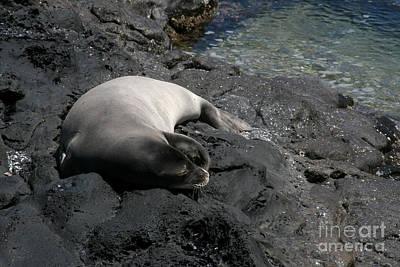 Hawaiian Monk Seal Ilio Holo I Ka Uana Print by Sharon Mau