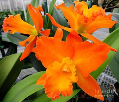 Hawaiian Orchid 17 Print by Randall Weidner