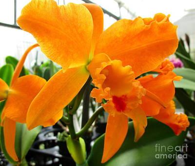 Hawaiian Orchid 19 Print by Randall Weidner