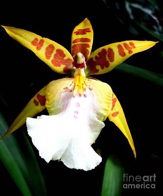 Hawaiian Orchid 32 Print by Randall Weidner