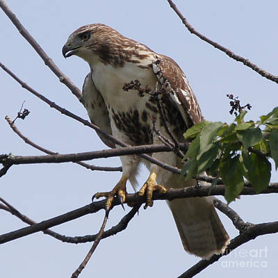 Photograph - Hawk Before The Kill by Robert Alter Reflections of Infinity