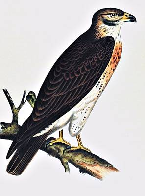 Noaa Photograph - Hawk Swainsons Hawk by Movie Poster Prints