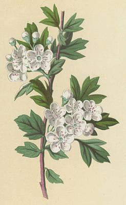 Hawthorn Print by Frederick Edward Hulme