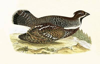 Pheasant Drawing - Hazel Grouse by English School