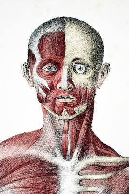 Human Head Drawing - Head And Shoulders Of The Male Human by Vintage Design Pics