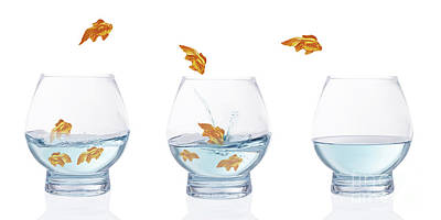 Goldfish Photograph - Heading For Calmer Waters by Amanda Elwell