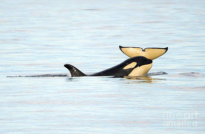 Orca Photograph - Heads Or Tails by Mike Dawson