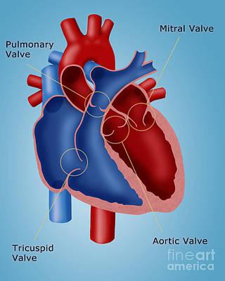Heart Valves Print by Monica Schroeder