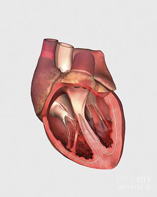 Heart Valves Showing Pulmonary Valve Print by Stocktrek Images