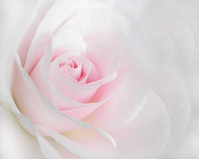 Rose Portrait Photograph - Heaven's Light Pink Rose Flower by Jennie Marie Schell