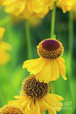 Helenium Riverton Beauty Flowers Print by Tim Gainey