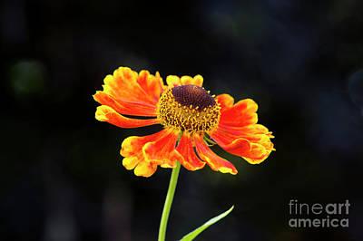 Helenium Waltraut Flower Print by Tim Gainey