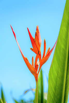 Fruits Photograph - Heliconia Flower by Daniel Murphy
