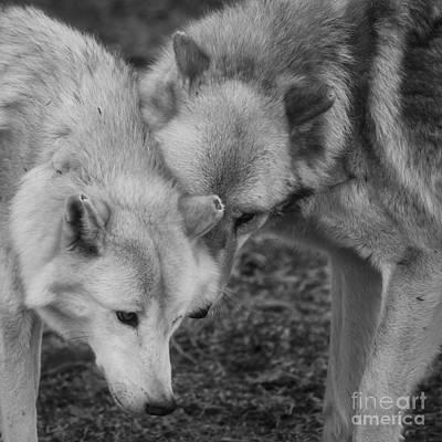 Black. Timber Wolf Photograph - Hello by Ana V  Ramirez