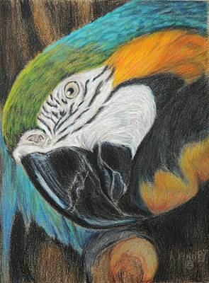 Macaw Drawing - Hello by Angela Finney