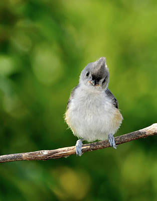 Tufted Titmouse Photograph - Hello World by Betty LaRue