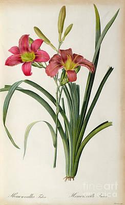 Engraving Painting - Hemerocallis Fulva by Pierre Joseph Redoute