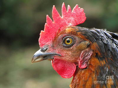 Nature Photograph - Hen by Sean Griffin