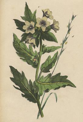 Henbane Hyoscyamus Niger Print by German Botanical Artist