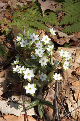 Hepatica Photograph - Hepatica Flowers by Ted Kinsman