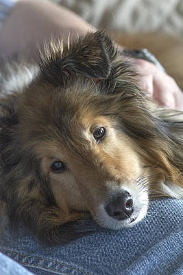 Miniature Collie Photograph - Her Master's Lap by Pat Eisenberger