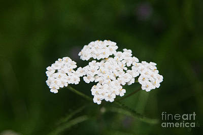Herbal Excursions Methow Valley Flowers By Omashte Print by Omaste Witkowski