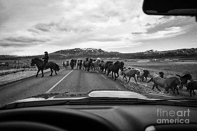 Herd Of Icelandic Horses Being Driven Across The Road Iceland Print by Joe Fox