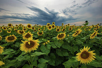 Sunflowers Photograph - Here Comes The Sun by Aaron J Groen