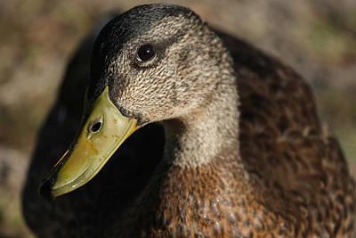 Yellow Beak Photograph - Heres Looking At You by Karol Livote