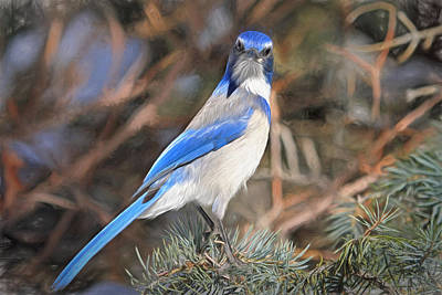 Bluejay Photograph - Here's Looking At You,  Kid by Donna Kennedy