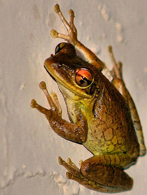 Spring Peepers Photograph - Heres Looking At You by Kristin Elmquist