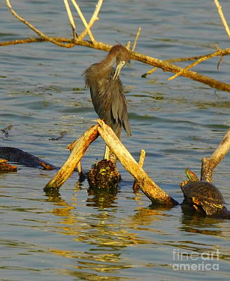 Slider Photograph - Heron And Turtle by Robert Frederick
