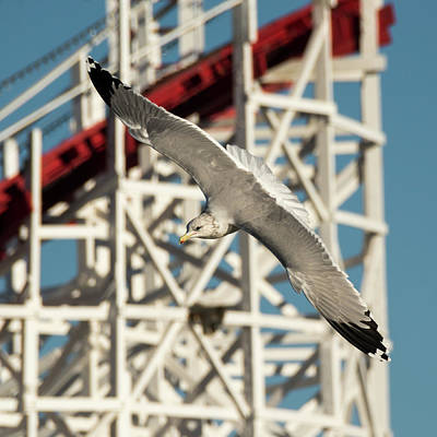 Rollercoaster Photograph - California Gull Flying by Bruce Frye